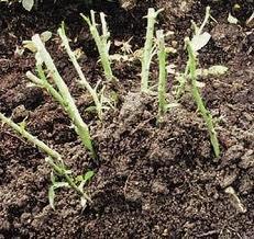 ukrittya 2 Как укрыть розы на зиму эффективно