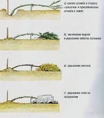 ukrittya 6 Как укрыть розы на зиму эффективно