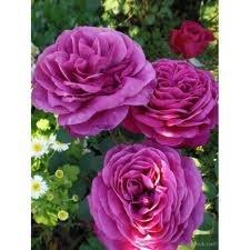 Deutsche Welle Роза флорибунда сорта, фото, уход, описание