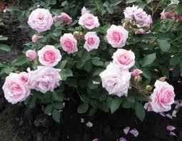 Diadem Роза флорибунда сорта, фото, уход, описание