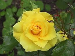 Friesia Роза флорибунда сорта, фото, уход, описание