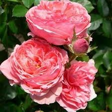 Kimono Роза флорибунда сорта, фото, уход, описание