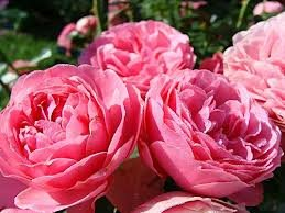Leonardo da Vinci Роза флорибунда сорта, фото, уход, описание