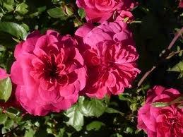 Sangria Роза флорибунда сорта, фото, уход, описание