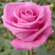 akva Чайно гибридные розы сорта, описание, фото