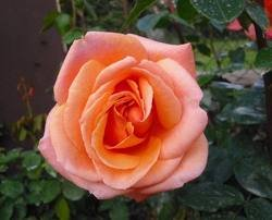 cherry Чайно гибридные розы сорта, описание, фото