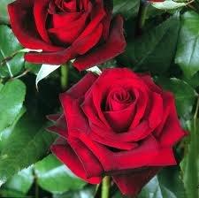 dark magic Чайно гибридные розы сорта, описание, фото
