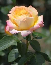 gloria Чайно гибридные розы сорта, описание, фото