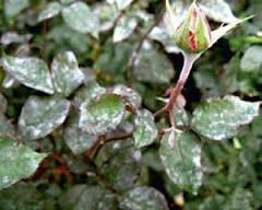 muchnista rosa Комнатная роза болезни, борьба и лечение