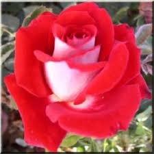 nikol Чайно гибридные розы сорта, описание, фото