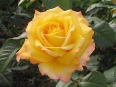 per hunt Чайно гибридные розы сорта, описание, фото
