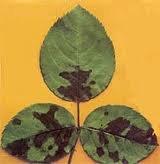 pestolatsia obvuhlena Китайская, домашняя розы болезни, лечение