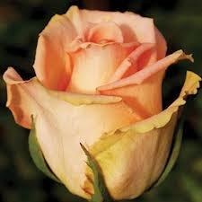 versilia Чайно гибридные розы сорта, описание, фото