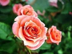 vinervald Чайно гибридные розы сорта, описание, фото