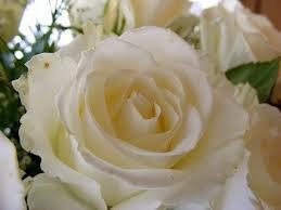 white christmas Чайно гибридные розы сорта, описание, фото