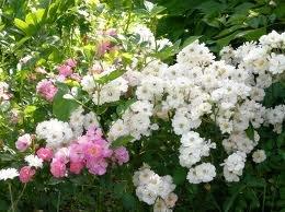 Angel wings Полиантовые розы из семян, сорта, фото, уход