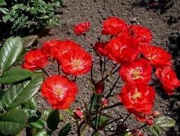 Border King Полиантовые розы из семян, сорта, фото, уход