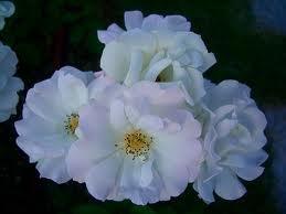 Dagmar Spath Полиантовые розы из семян, сорта, фото, уход