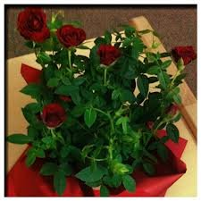 Elizabeth Meyer Полиантовые розы из семян, сорта, фото, уход