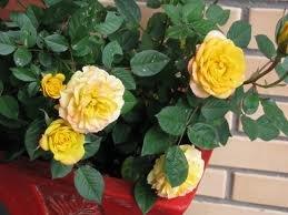 Juliet 1 Миниатюрные розы, сорта, уход, фото