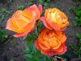 Orange Triumph Полиантовые розы из семян, сорта, фото, уход