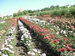bordurnaia roza 3 Бордюрные розы патио, уход, сорта, фото