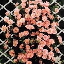 climbing Плетистые розы уход, посадка саженцев, обрезка, выращивание