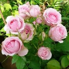 mimi eden Миниатюрные розы, сорта, уход, фото