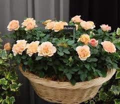 mini roza 8 Миниатюрные розы, сорта, уход, фото