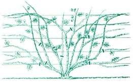 obrezka 2 Плетистые розы уход, посадка саженцев, обрезка, выращивание