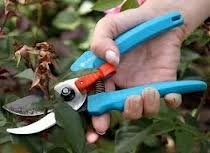 obrezka tsvetov 2 Как сохранить розы до весны правильно