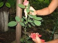 obrizanie 2 Как сохранить розы до весны правильно