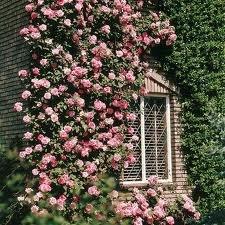 pletisti rozy vozle sten2 Плетистые розы уход, посадка саженцев, обрезка, выращивание