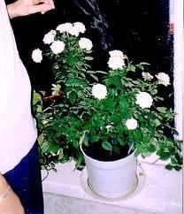 poliv Миниатюрные розы, сорта, уход, фото