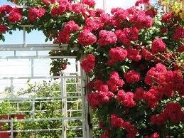 rambler Плетистые розы уход, посадка саженцев, обрезка, выращивание