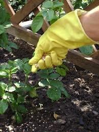 udobrenia 2 Как сохранить розы до весны правильно