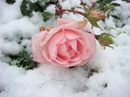 v snehu Как сохранить розы до весны правильно
