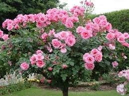 Parkovaia roza 2 Роза парковая сорта и фото, уход