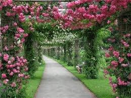 pletistaia roza 1 Размножение плетистых роз
