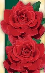 Fluorescent Шрабы розы сорта, фото, уход