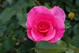 Romanze2 Шрабы розы сорта, фото, уход