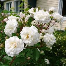Snow Ballet Шрабы розы сорта, фото, уход