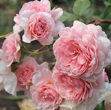 William Morris Шрабы розы сорта, фото, уход