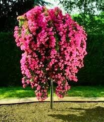 Уход за штамбовыми розами