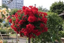 shtamb2 Штамбовые розы посадка и уход, фото