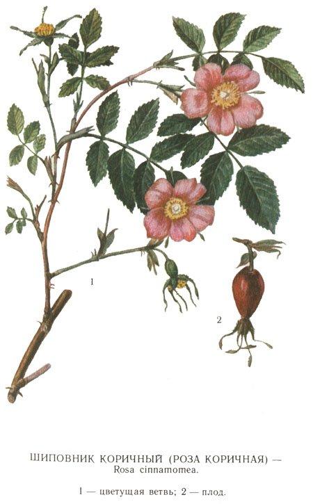 razmnozhenie3337 Прививка роз на шиповник