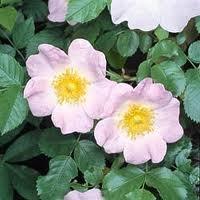razmnozhenie6657 Прививка роз на шиповник