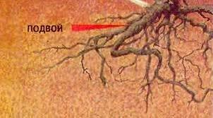 shtamb4 Прививка роз на шиповник